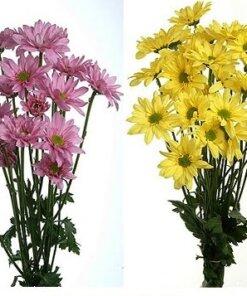 Daisy Poms Flowers 1