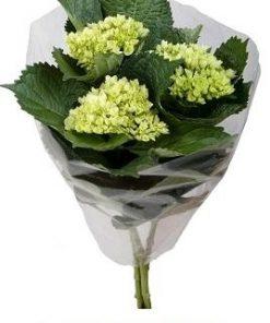 Hydrangea Mini Green fresh cut flower 1