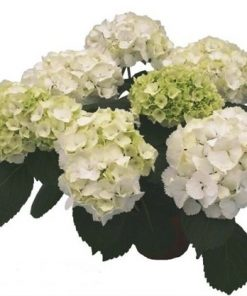 Hydrangeaswhite 1