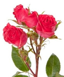 Spray Roses Red 1