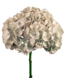 WholesaleHydrangeas 1
