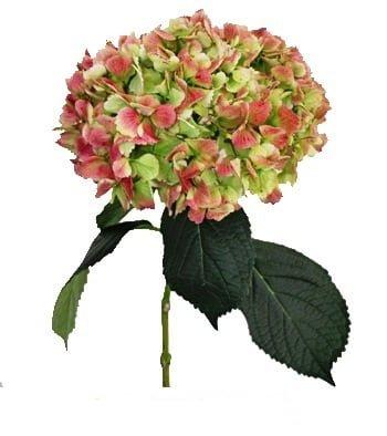 hydrangeaantiqueflower 1