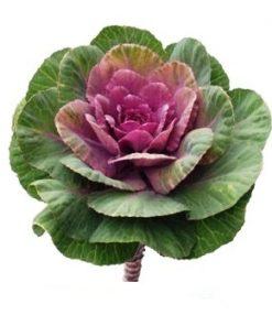 Kale Purple Green Flower 1
