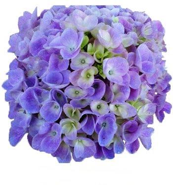 Lavender Hydrangea 1
