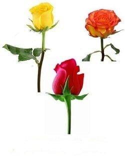 RosesHeads 1