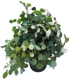 SilverDollarEucalyptus1
