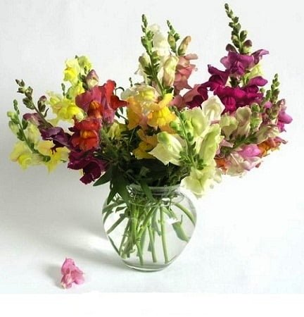 SnapdragonFlowers 1