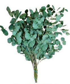 eucalyptussilverdollar 1