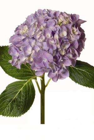 hydrangea lavender 1