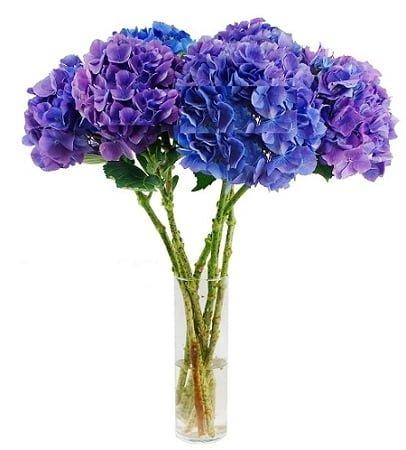 hydrangeas Lavender blue 1