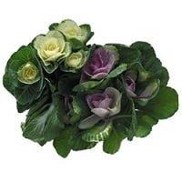 kale ornamental flowers 1