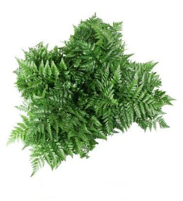 leather leaf greens 1