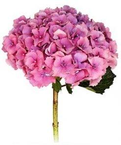 hydrangeas pink