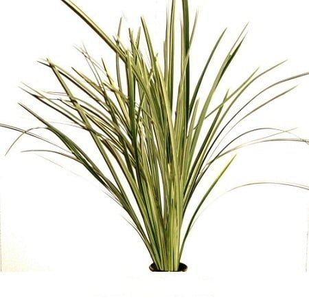 lily grass variegated 1