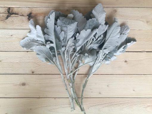 Dusty Miller Broad Leaf