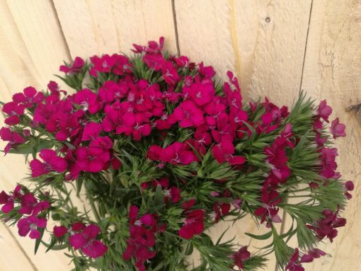 Dianthus AMZ Hot Pink