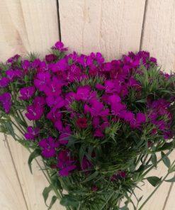 Dianthus AMZ Purple