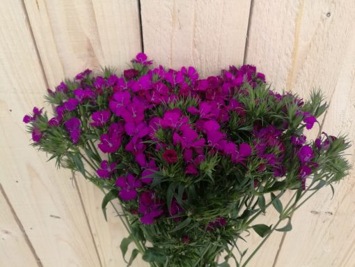 Dianthus AMZ Purple