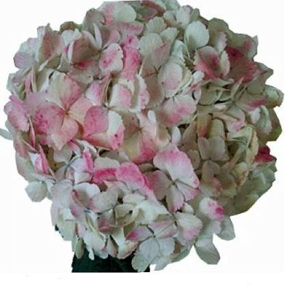 Hydrangea Pink 1