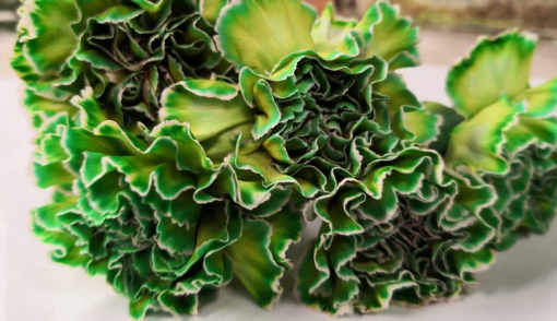 Carnation Green 2 2