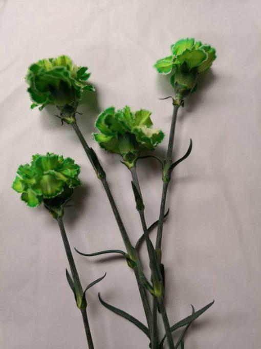 Carnation Green 3