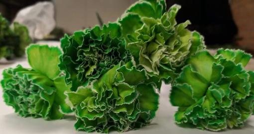 Carnation Green 5 2