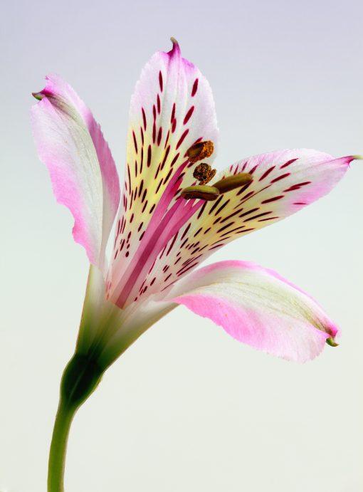 amazonflowers.us fresh peruvian lilies alstroemeria als wh scaled