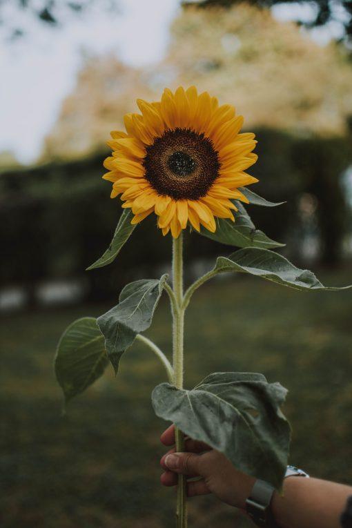amazonflowers.us sunflowers 2 scaled